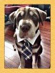 画像4: 【プーチアウトフィッターズ】セレブかわいい犬猫用ネクタイ (4)