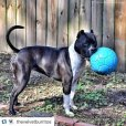 画像14: 【パンクしない特殊構造】愛犬とサッカー!ジョリーサッカーボール